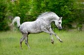 picture of galloping horse  - Arabian horse runs gallop on green background - JPG