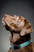 picture of chocolate lab  - image of a cute chocolate lab looking up