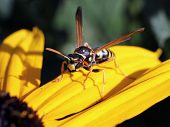 stock photo of black-eyed susans  - A European Paper Wasp on a Black - JPG