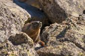 stock photo of marmot  - Marmot on the Rock - JPG