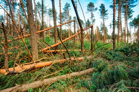 pic of hurricane wind  - Windfall in forest - JPG
