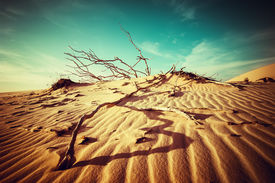 picture of dead plant  - Desert landscape with dead plants in sand dunes under sunny sky - JPG