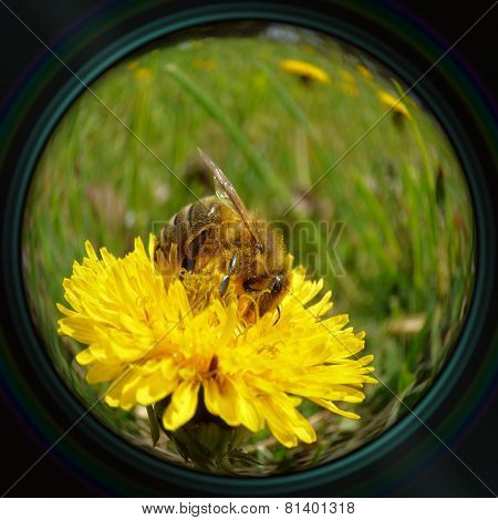 Honeybee On Dandelion In Objective Lens