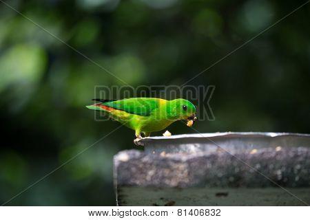 green parakeet feeding