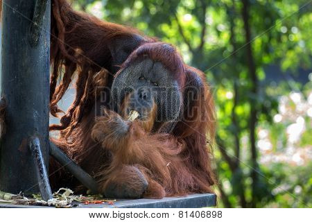orangutan feeding on sugar cane in captivity