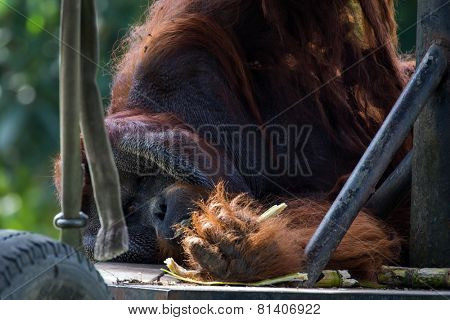 adult orangutan in captivity lying down resting