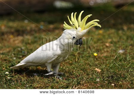 Lesser Sulphur Crested Cockatoo On Grass