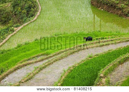 SAPA, VIETNAM - JUNE 10, 2011: Unidentified woman working in rice field terraces (rice paddy) near Ta Van village. Vietnam is one of the top rice exporting countries in the world