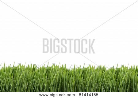 Fresh Green Wheatgrass Isolated On White