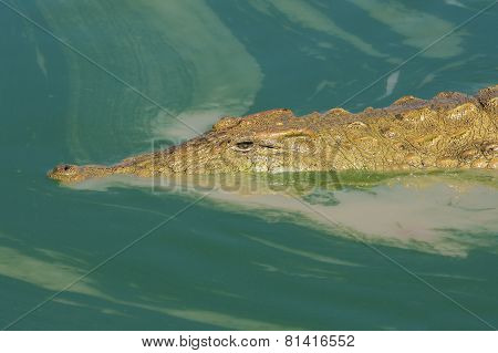 Nile Crocodile In Murky Green Water, South Africa