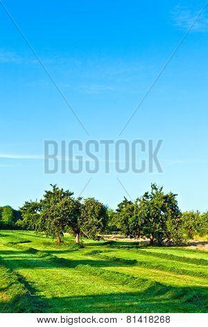 Beautiful Typical Speierling Apple Tree In Meadow For The German Drink Applewine