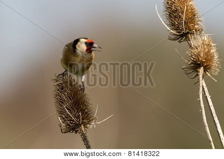 European goldfinch on teasel