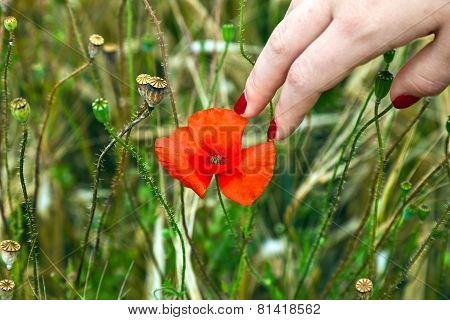 Finger With Red Fingernail Touching A Blooming Poppy Flower