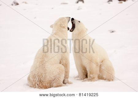 Two Polar Bears Face To Face And Bearing Teeth