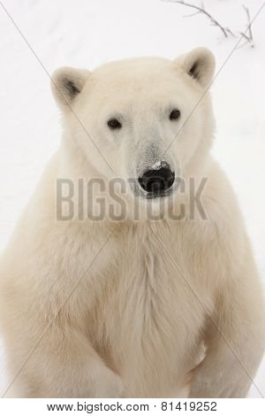 Close Up Of Adult Polar Bear Standing On Hind Legs