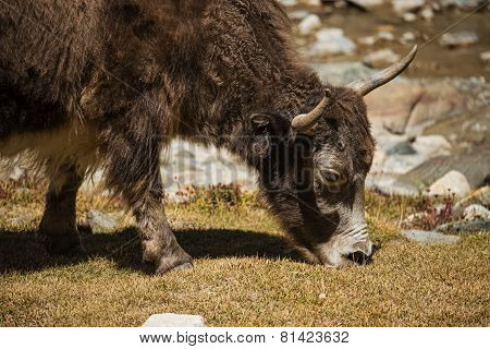 Close up wild yak in Himalaya mountains. India, Ladakh - September 2014