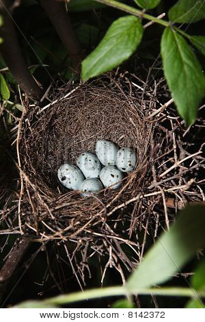 Nest Of Hawfinch,(coccothraustes)