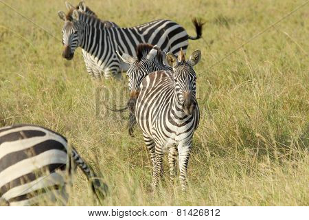 Common Zebras In Serengeti