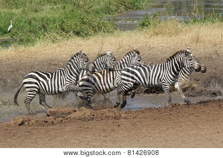 Herd Of Common Zebras Near A Water Hole