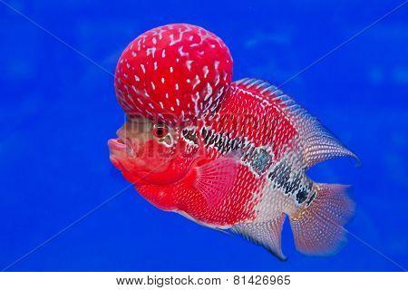 aquarium fish, flower horn fish on blue screen
