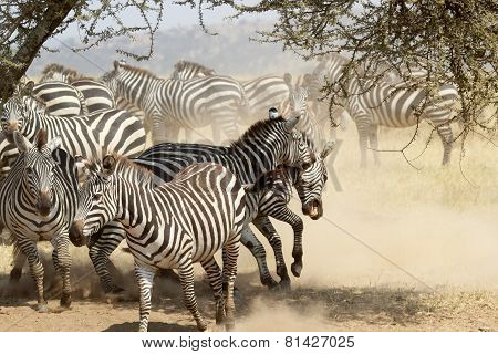 Herd Of Restless Common Zebras