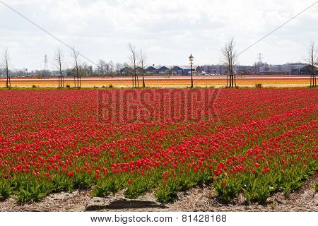 waves of Tulip fields near Keukenhof Flower Garden, Netherlands
