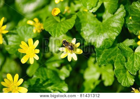 Bee And Yellow Buttercup Flowers