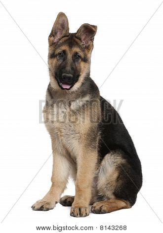 Cachorro de Pastor Alemán, 4 meses edad, sentado frente a fondo blanco