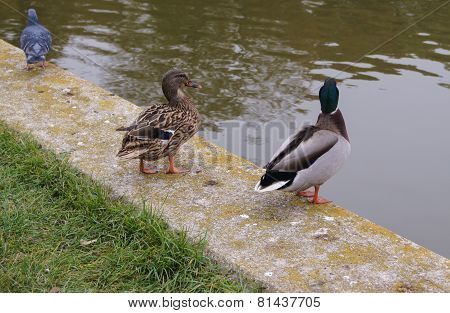 Two wild ducks and pigeon