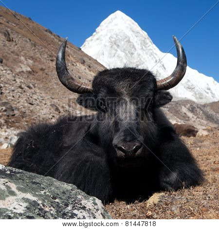 Yaks On The Way To Everest Base Camp And Mount Pumo Ri