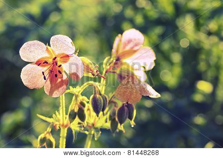 Delicate Background With Flowers Of Wild Geraniums.