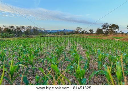 Landscape  Green Corn And Blue Sky