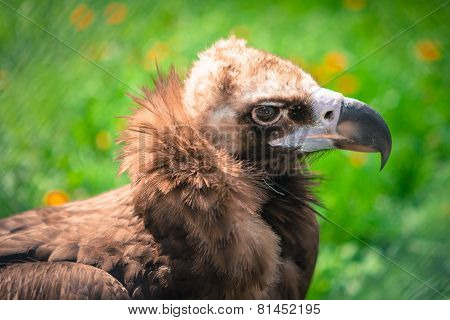 closeup of raptor bird head