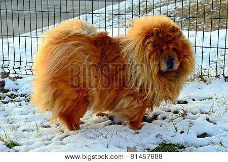 Chow Chow Dog Dina, Sun And White Snow
