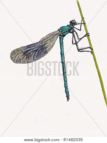 Banded Damselfly on white background.