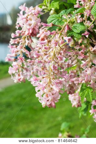 Flowering currant - Ribes sanguineum in spring time.