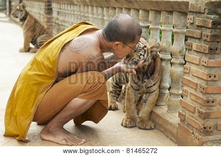 Buddhist monk kisses indochinese baby tiger in Saiyok, Thailand.