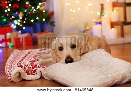 Labrador lying on plaid on wooden floor and Christmas decoration background