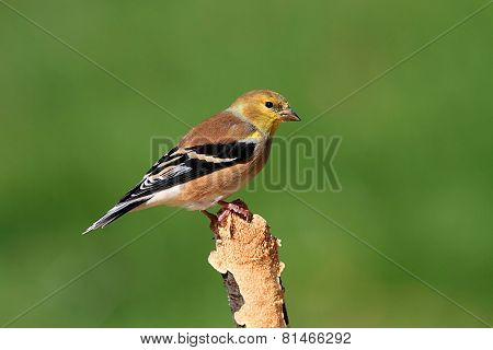 American Goldfinch (carduelis Tristis) On A Perch