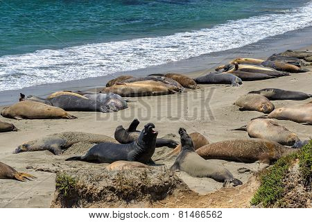 California sea lions on the beach