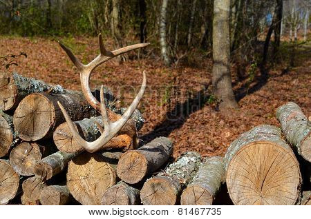 Deer antlers on woodpile