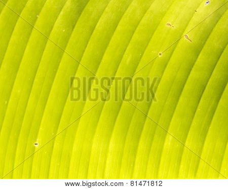 Banana's Grunge Leaf Texture, Nature Background