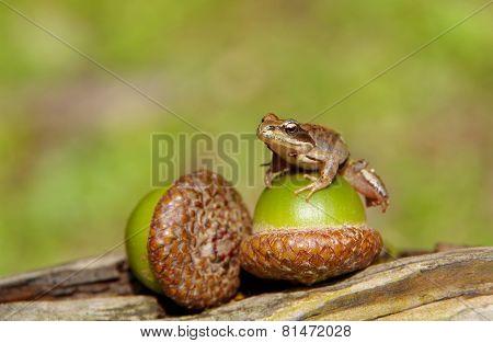 Edible Frog On Acorn