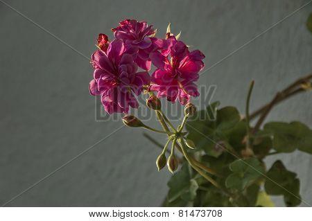 One rose pelargonium flower with leaves