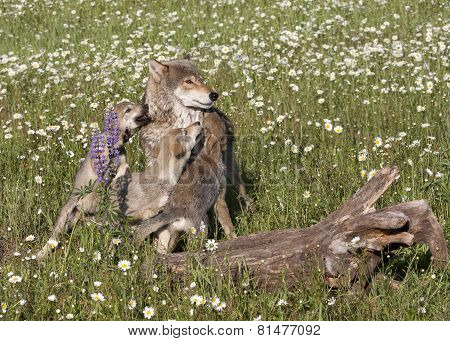 Wolf Mom with Pups