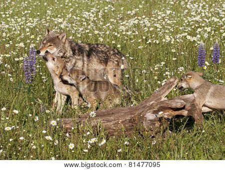 Wolf Pups in Wildflowers