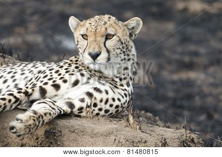 Cheetah Sitting On A Termite Mound