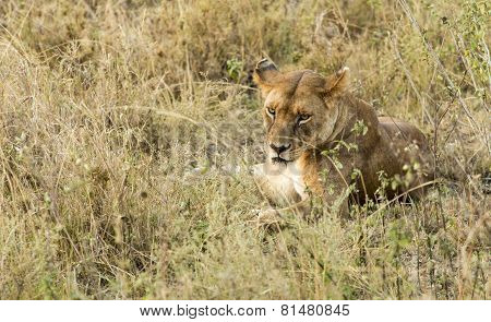 Lioness Staring
