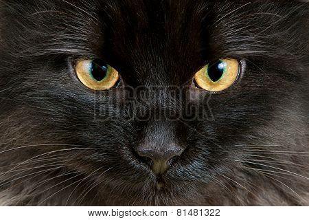 Yellow Eyes Of Black Cat Close-up
