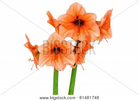 Orange Amaryllis in full blossom